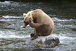 Alaska brown bear on rock