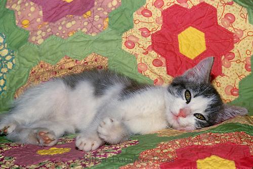 Fluffy Tabby kitten curled up on handmade quilt