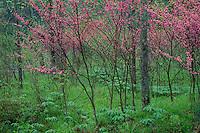Redbud along Trough Creek<br /> Trough Creek State Park<br /> Appalachian Mountains<br /> Huntington County,  Pennsylvania