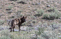 This wolf crossed the road right in front of my car.  I was able to get a couple distant (and hazy) shots before it disappeared over the hill.