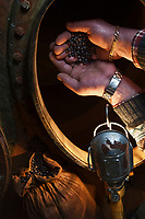 Europe/France/Nord-Pas-de-Calais/62/Pas-de-Calais/ Houlle: Distillerie Persyn- Genièvre de Houlle ajout des grains de genièvre  //  France, Pas de Calais, Houlle, Persyn Distillery Gin-Houlle addition of juniper berries