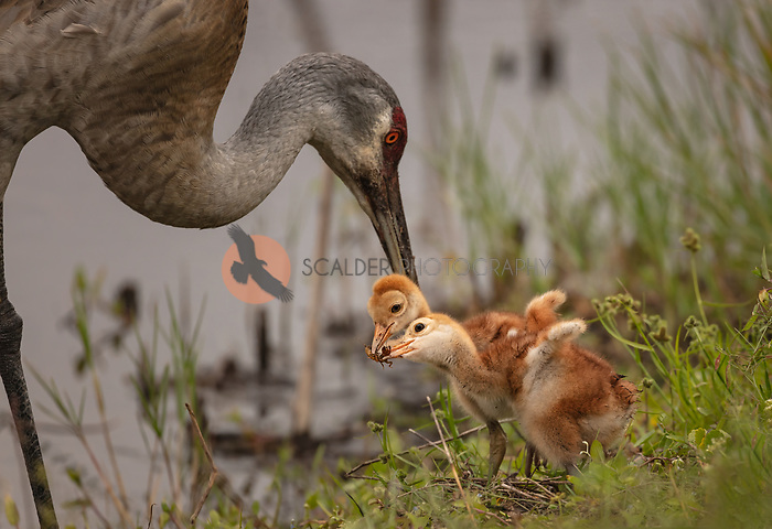 Two Sandhill Crane chicks sharing an insect between them with adult Sandhill in background after feeding the chicks