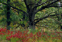 Sumac and pin oak<br />