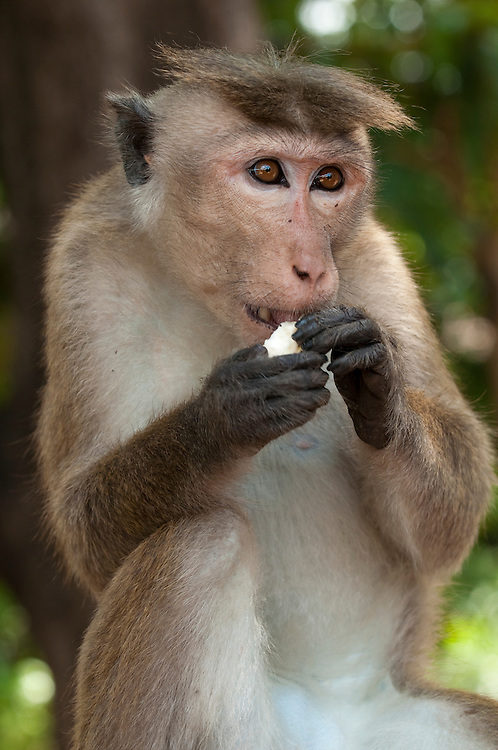 A male toque macaque eats a banana scavenged from a market. Polonnaruwa, Sri Lanka.  IUCN Red List Classification: Endangered