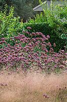 Verbena bonariensis, Purple Top Vervain flowering in California garden with Ruby Muhly grass; Sunset gardens, Cornerstone, Sonoma