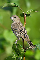 House Finch perched on a pair tree
