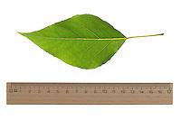 Balsam-Pappel, Balsampappel, Populus balsamifera, Populus tacamahaca, balsam poplar, bam, bamtree, eastern balsam-poplar, hackmatack, tacamahac poplar, tacamahaca, Le Peuplier baumier. Blatt, Blätter, leaf, leaves