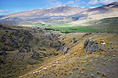 Merino sheep move across a hillside above the Nevis Valley, Central Otago District, Otago, South Island, New Zealand.