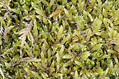 whitish feather-moss<br /> Brachythecium albicans