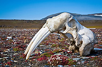 Atlantic walrus, Odobenus rosmarus rosmarus, skull with tusks, on the tundra, Freemansundet, Svalbard, Norway, Barents Sea, Atlantic Ocean