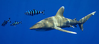 Oceanic white tip shark, Carcharhinus longimanus, with pilot fish. Open ocean, Kona Coast, Big Island, Hawaii, USA, Pacific Ocean
