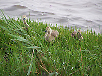 Goslings at the Piermont Pier
