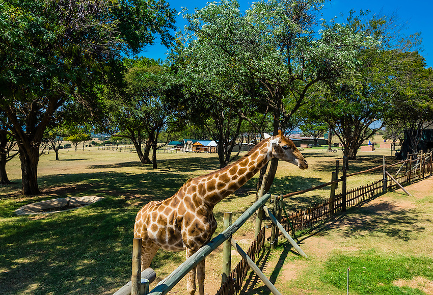 Giraffe, Lion Park, near Johannesburg, South Africa.