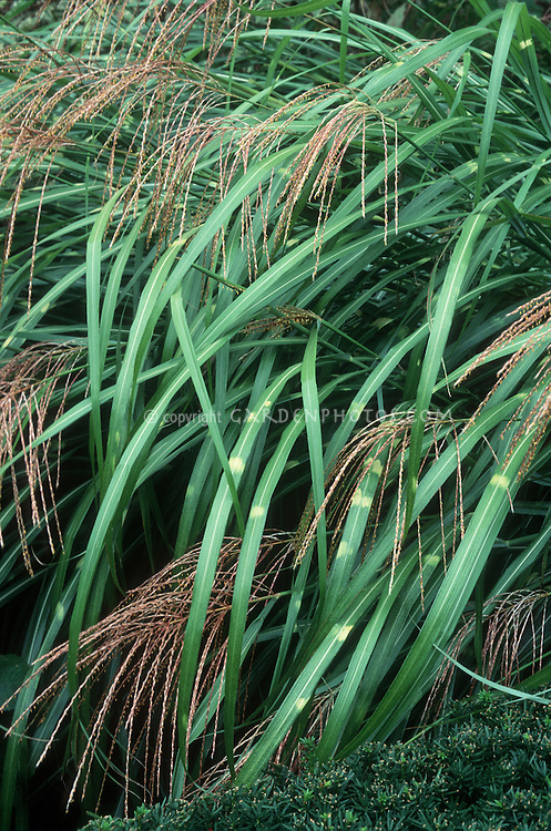Ornamental maiden grass Miscanthus sinensis Strictus in flower, showing striped grassy leaves