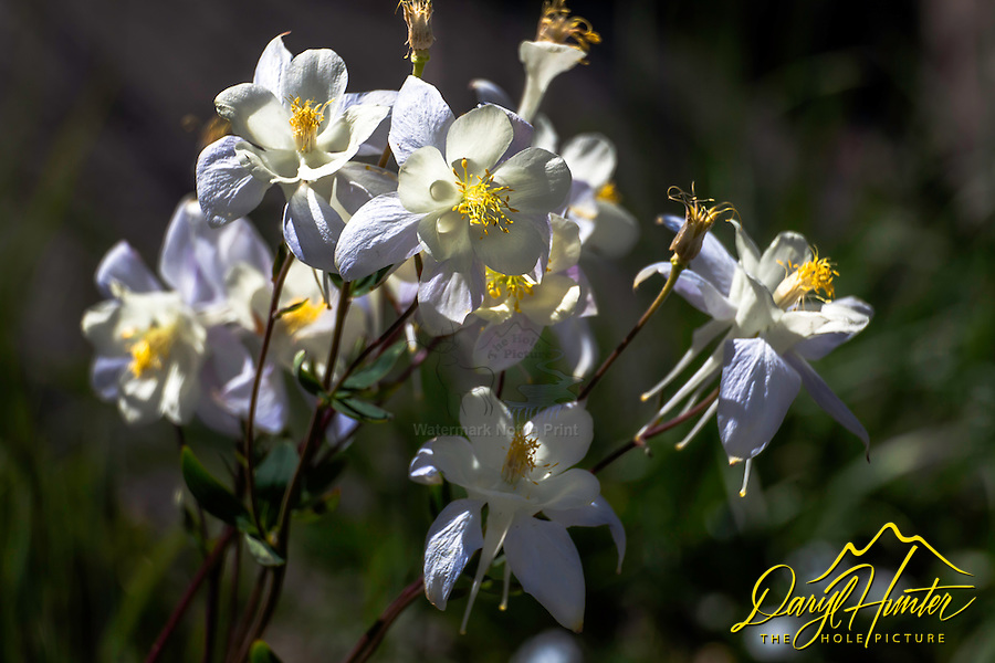 Columbine Bouquet, wildflowers of Wyoming