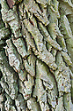 Trunk of Walter dogwood (Cornus walteri). It is well known for the alligator-like bark on older trees.