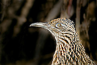 Close image of a Greater Roadrunner face