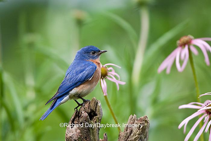01377-17215 Eastern Bluebird (Sialia sialis) male on fence post near flower garden,  Marion Co., IL