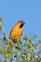 561930023 a wild male bullocks oriole icterus bullockii perches in a thornbush on a private ranch in the rio grande valley of south texas