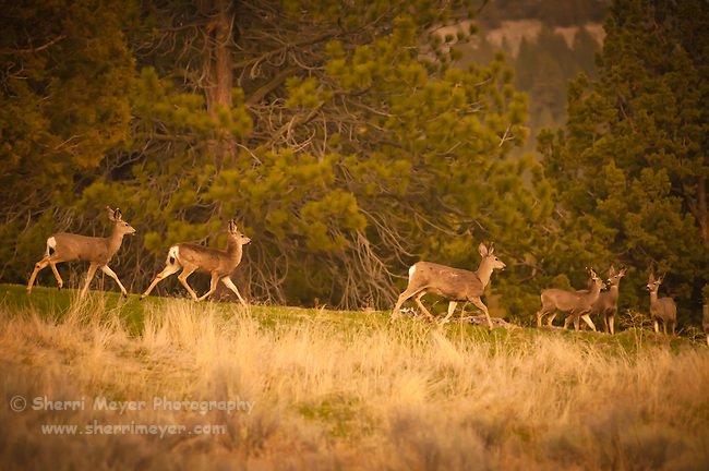 Herd of Mule Deer running from the camera, Adin, Northeastern California.
