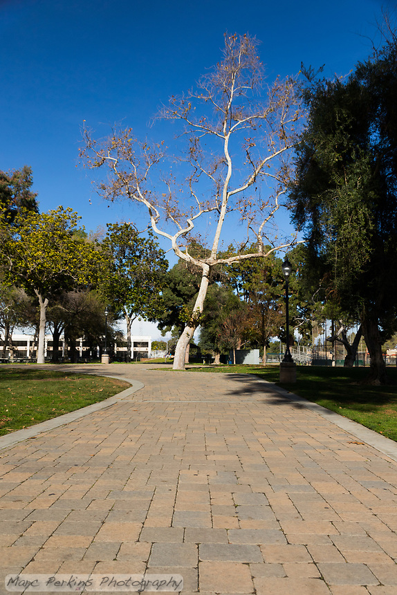 The grand paver pathway at South Gate Park leads to a dramatic winter deciduous tree in front of a blue sky.