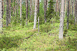 Pine Forest, Hiidenportti National Park, Finland, in Sotkamo in the Kainuu region
