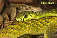 0423-1123  Western Green Mamba (West African Green Mamba), Dendroaspis viridis  © David Kuhn/Dwight Kuhn Photography