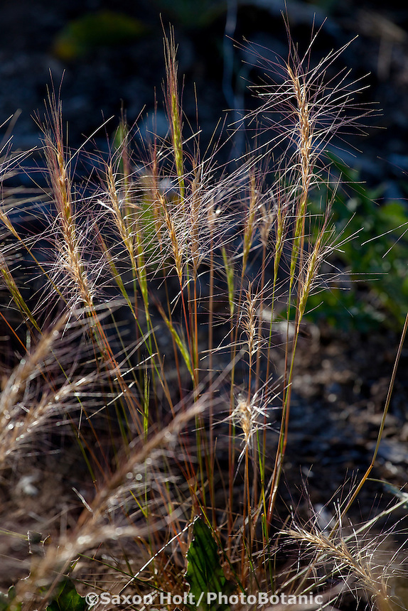 Elymus elymoides, Squirreltail Bottlebrush, California native grass in Sierra meadow (aka Sitanion hystrix)