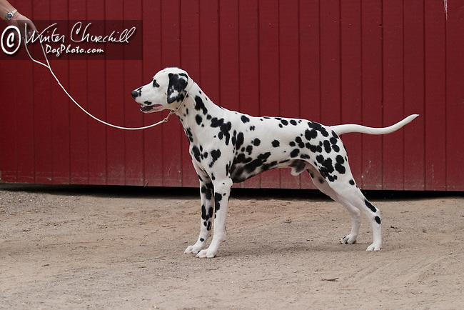 Dalmatian Shopping cart has 3 Tabs:<br /> <br /> 1) Rights-Managed downloads for Commercial Use<br /> <br /> 2) Print sizes from wallet to 20x30<br /> <br /> 3) Merchandise items like T-shirts and refrigerator magnets
