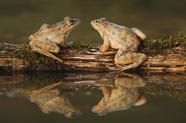 Rio Grande Leopard Frog, Rana berlandieri, two adults on log in water with reflection, Uvalde County, Hill Country, Texas, USA, April 2006