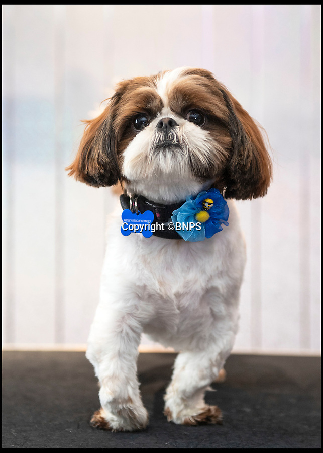 BNPS.co.uk (01202 558833)<br /> Pic: PhilYeomans/BNPS<br /> <br /> Meet Bertie the bow-legged Shih-Tzu puppy...<br /> <br /> A rescue centre has launched a crowd funding page to raise the £4,000 needed to help him run around again.<br /> <br /> One year old Bertie has been abandoned by his owners who couldn't afford the cost of his life changing operations, but Ardley rescue centre boss Annabelle Weir from Bicester in Oxfordshire is determined to give bow-legged Bertie a second chance.