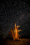 Great Basin Bristlecone Pines (Pinus longaeva), painted with light and set against a field of stars. Ancient Britlecone Pine Forest, Inyo County, Inyo National Forest, White Mountains, CA.