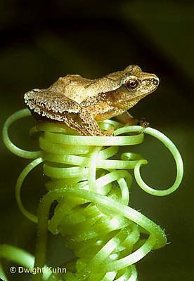 FR16-041a  Spring Peeper Tree Frog -sitting on pumpkin tendril -  Pseudacris crucifer, formerly Hyla crucifer