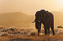 Namibia;  Namib Desert, Skeleton Coast, Hoanib River, desert elephant bull (Loxodonta africana) feeding in grassland