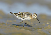 Curlew Sandpiper - Calidris ferruginea. L 19-21cm. Small, elegant wader. Similar to Dunlin but separable by noting long and obviously downcurved bill and white rump. Sexes are hard to separate. Adult in summer has spangled reddish brown, black and white back and (briefly) brick red on face, neck and underparts (appears mottled in moulting migrants). Male is brighter than female. Winter adult (seldom seen here) has greyish upperparts and white underparts. Juvenile (commonest plumage encountered here) has scaly-looking back, white belly and buffish breast; note pale supercilium. Voice Utters a soft prrrp call. Status Breeds in high Arctic and seen here as scarce passage migrant, usually on estuaries and coastal pools, often with Dunlins.