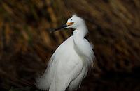 Snow Egret stops to ponder.