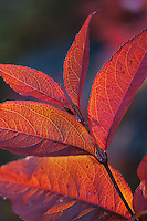 Brilliant fall color as sunsets back lighting the leaves of