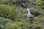 Upland Goose (Chloephaga picta) Torres del Paine National Park, Chilean Patagonia