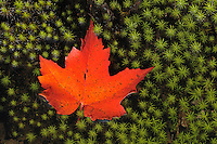 Red maple leaf  (Acer rubrum) on hair cap moss (Polytrichum commune)<br /> Killarney Provincial Park<br /> Ontario<br /> Canada