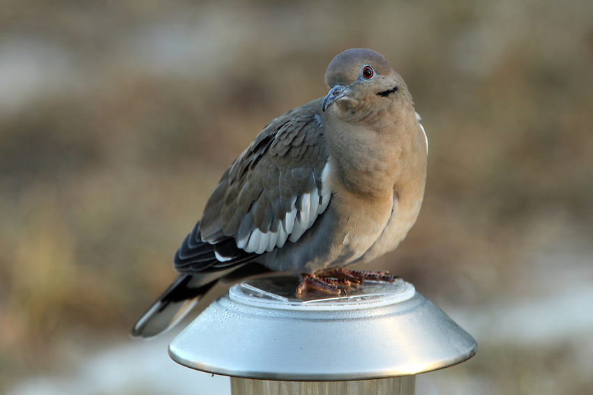 White-winged Dove on a solar light, just as the first light of day begins..