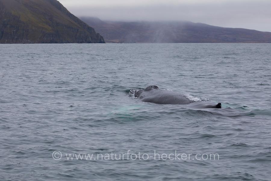 Buckelwal, Buckel-Wal, Wal, Wale, Megaptera novaeangliae, humpback whale, La baleine à bosse, la mégaptère, la jubarte, la rorqual à bosse, Walsafari, Walbeobachtung, Island, whale watching, Iceland