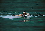 Sea otter and pup (Enhydra lutris), Glacier Bay National Park, Alaska<br /> Canon EOS-3<br /> Canon 500mm IS lens<br /> June 2000