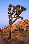 Evening light on Joshua Tree and boulder rock outcrop, near Quail Springs, Joshua Tree National Park, California