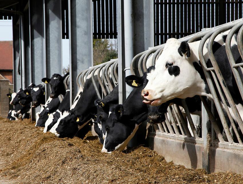 Photo: Richard Lane/Richard Lane Photography. Diary cows feeding a TMR diet near Reading, Berkshire. 19/03/2014.