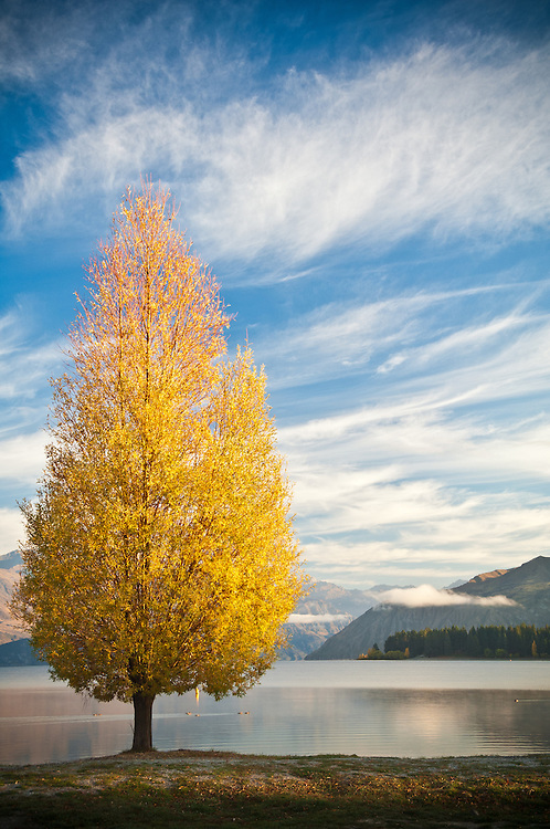 Yellow poplar on the shore of Lake Wanaka in Autumn, South Island, New Zealand