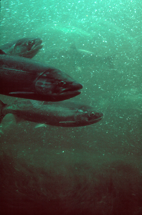 Salmon, Fall upriver brights, Chinook salmon, Bonneville fish ladder, Columbia River, Hanford Reach, Washington State,