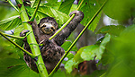 Three-toed sloth (Bradypus variegatus)<br />