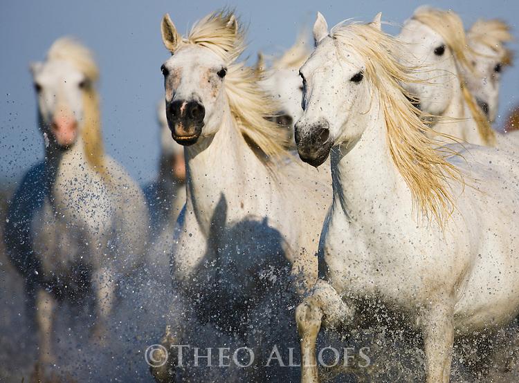 White Camargue horses running in swamp, Camargue, France