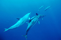 spinner dolphins, Stenella longirostris, Kona, Big Island, Hawaii, Pacific Ocean