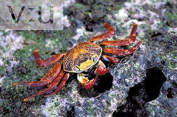 Sally Lightfoot Crab ,Grapsus grapsus, Galapagos